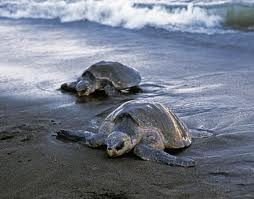 Costa Rica Sea Turtles