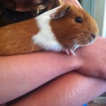 Ginger the Hamster