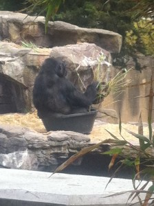 Gorilla in tub