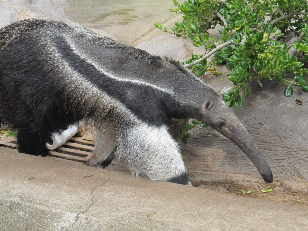 Anteater at San Francisco Zoo