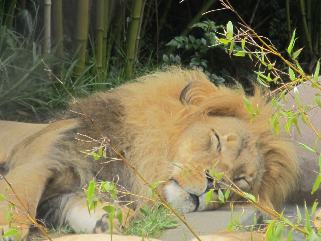 Sleeping Lion at San Francisco Zoo