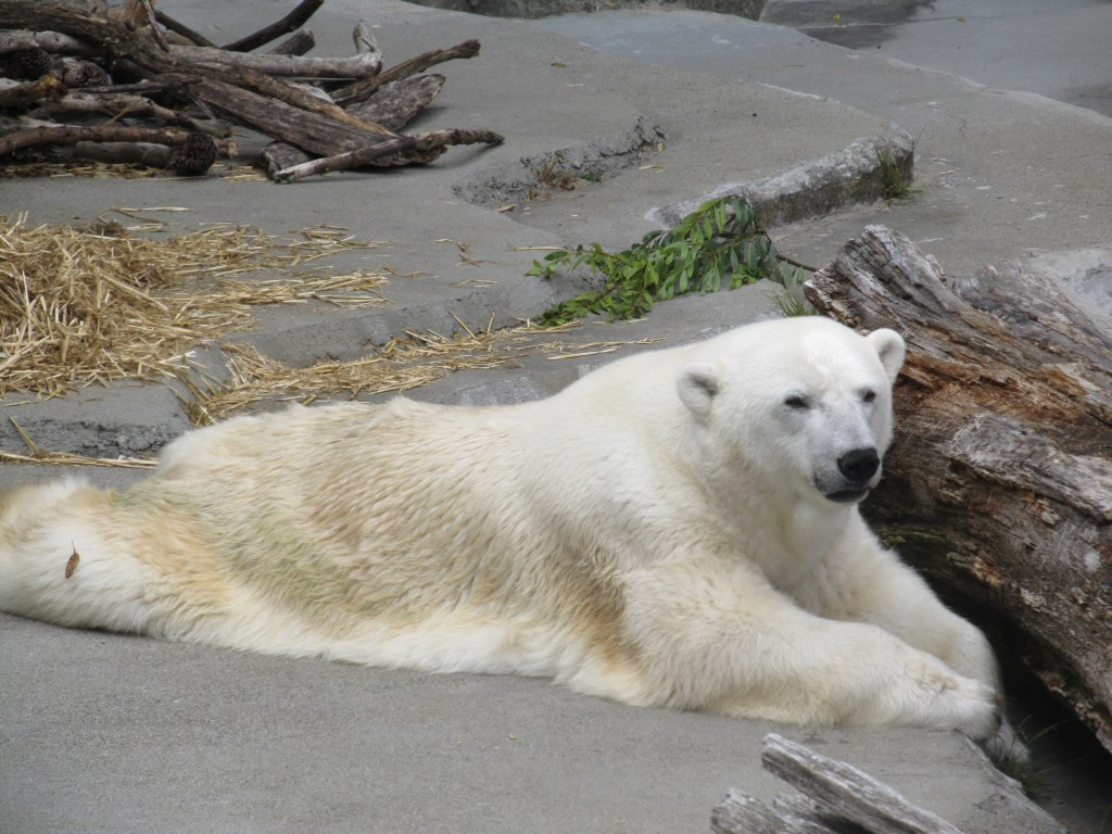 Polar Bear at San Francisco Zoo