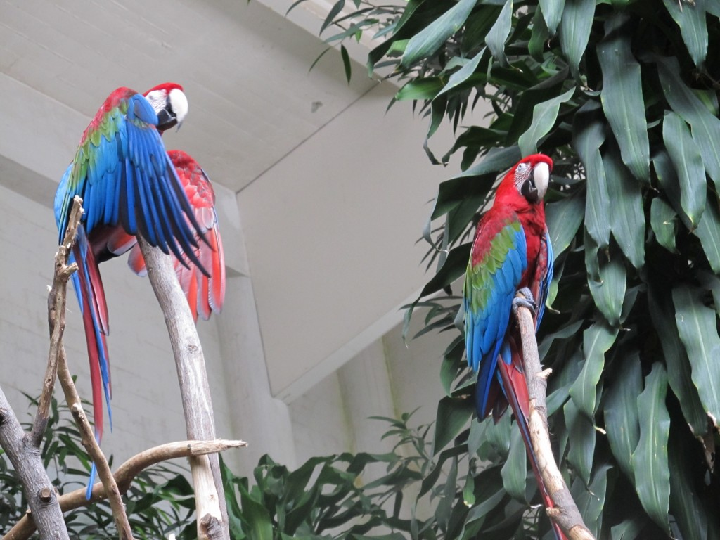 Colorful Macaws at San Francisco Zoo