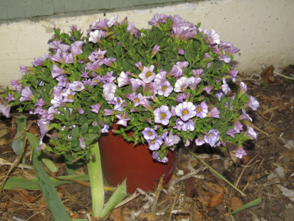Calibrachoa S.B. Miss Lilac