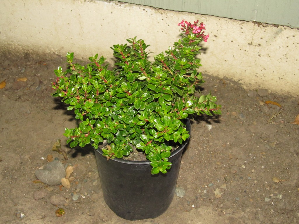 Newport Dwarf Escallonia