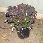 Allure Ebony Oxalis
