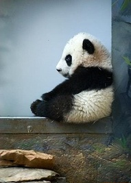 Cute Panda in window
