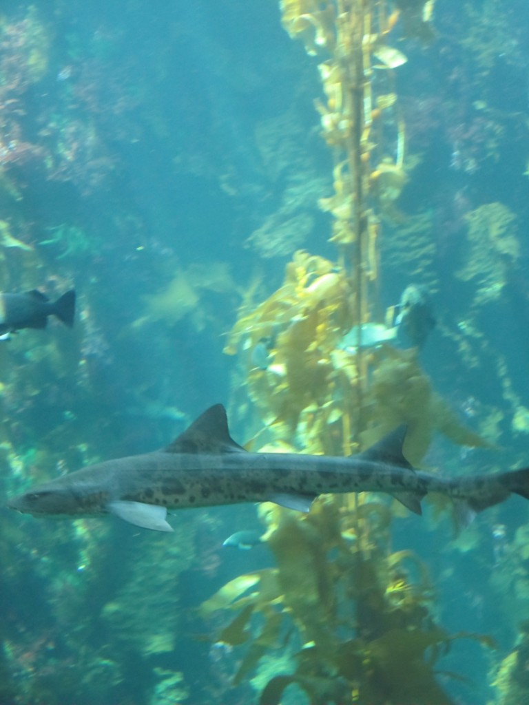 Spotted Leopard Shark in Giant Kelp Forest at Monterey Bay Aquarium