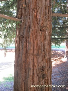 redwood tree trunk