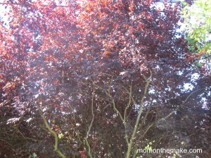ornamental plum trees