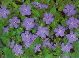 vinca minor groundcover
